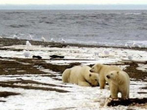 images/polar_bears.jpg